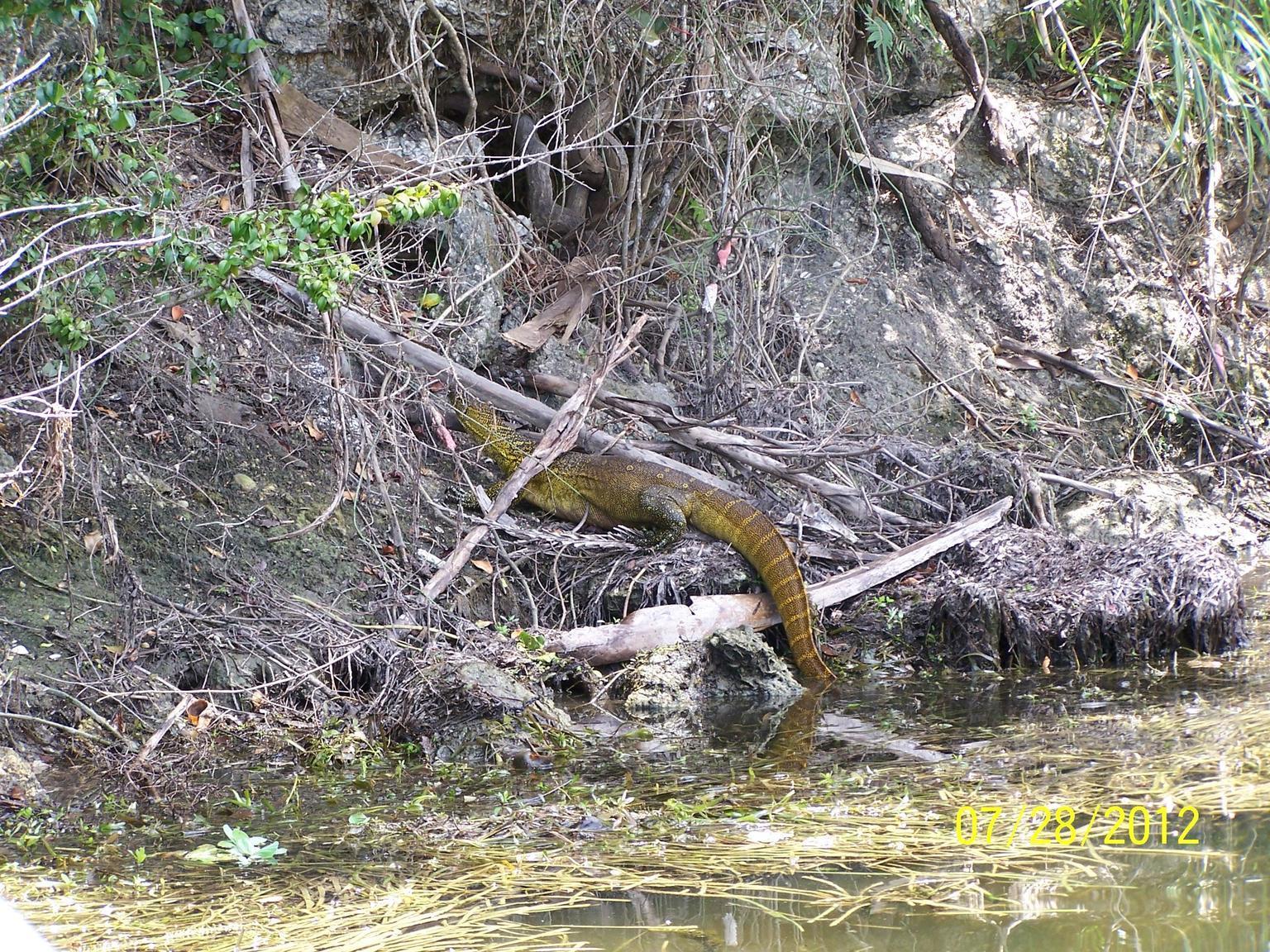 Eddmaps record id 2418274 nile monitor varanus niloticus for Florida fish wildlife