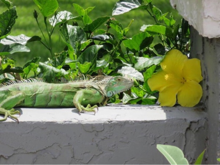 iguana resting on a lanai wall, next to a yellow hibiscus flower